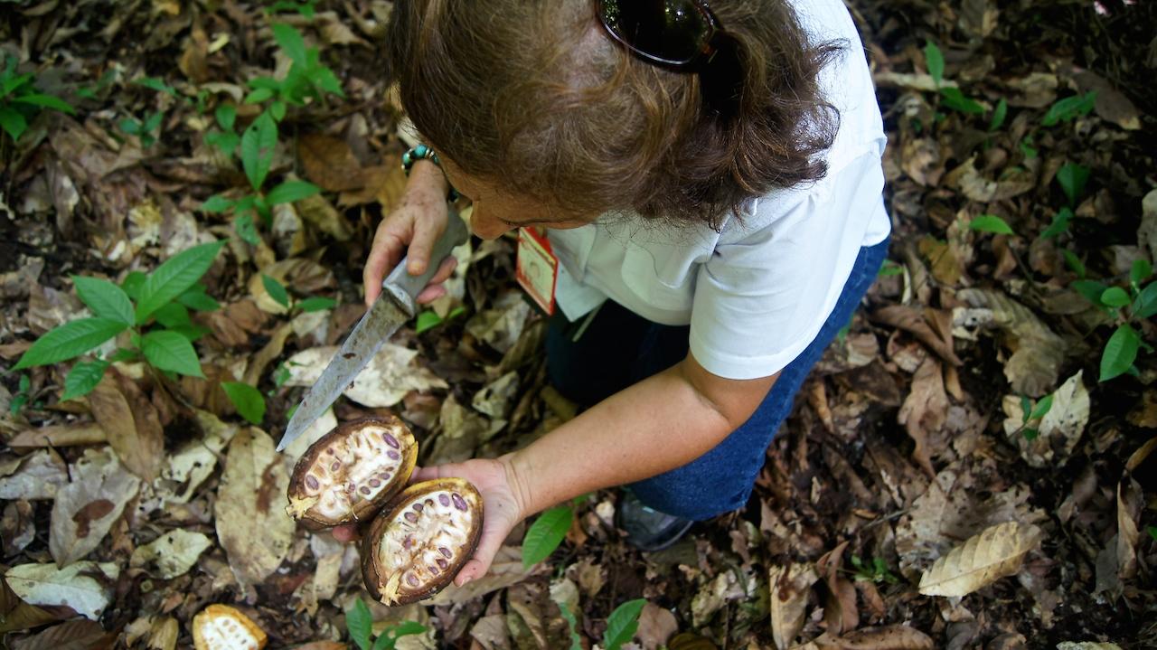 La ingeniera Agrónomo, Iraima Chacón, de Corpozulia, advierte sobre el peligro al desatender las plantaciones de cacao