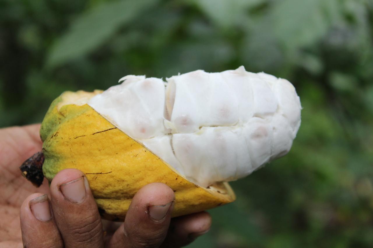 Cacao carenero, propio de la zona de Miranda