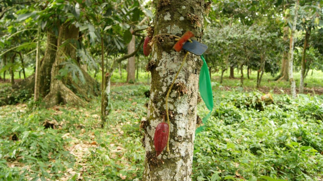 De esta forma identifican algunos de los árboles del banco de Germoplasma en Corpozulia